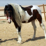 خيول للبيع فى مصر - مزرعة عرابي - Long - oraby farm
