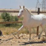 خيول للبيع في مصر - مزرعة عرابي للخيول المميزة - برق (6)