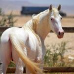 خيول للبيع في مصر - مزرعة عرابي للخيول المميزة - برق