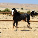 خيول للبيع فى مصر - مزرعة عرابي - oraby farm - king