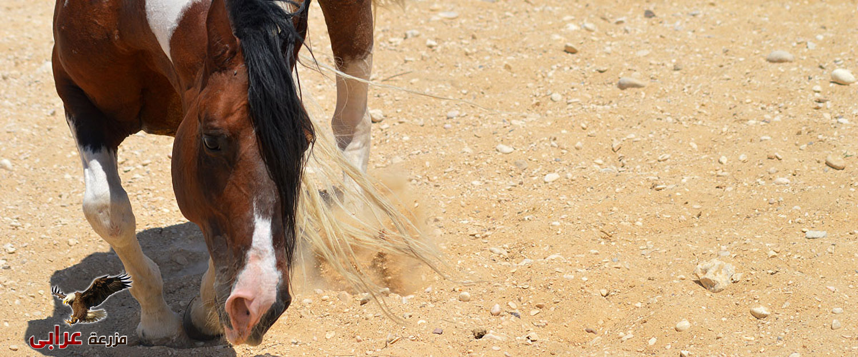 مزرعة عرابي للخيول المميزة