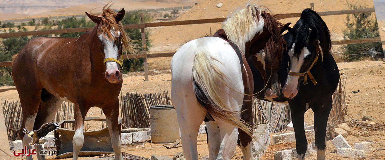 مزرعة عرابي للخيول المميزة - oraby farm - و الانتاج الحيوانى 5