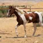 Star - خيول للبيع فى مصر - مزرعة عرابي - oraby farm