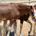 خيول للبيع فى مصر - مزرعة عرابي - oraby farm - Hulk