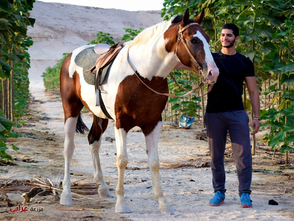elbasha - خيول للبيع في مصر - مزرعة عرابي للخيول المميزة و الخيول الامريكية الملونه - oraby farm