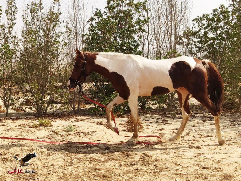 فرس ملونه للبيع - خيول للبيع فى مصر - مزرعة عرابي - oraby farm - safy
