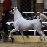 صور خيل عربي اصيل - بطولة رباب الدولية لجمال الخيول العربية الأصيلة اكتوبر 2020 - مزرعة عرابي للخيول المميزة - oraby farm