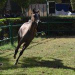صور خيل عربي اصيل - مزاد محطة الزهراء للخيول العربية الاصيلة 2020 - مزرعة عرابي للخيول المميزة - oraby farm