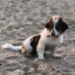 كلاب للتبني - australian shepherd - مزرعة عرابي للخيول المميزة و الانتاج الحيوانى - oraby farm
