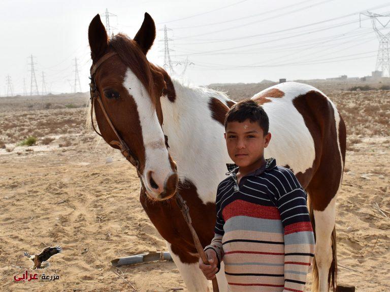 خيل للبيع في مصر - map - مزرعة عرابي للخيول المميزة و الانتاج الحيوانى - حصان ملون فلسطيني (1)