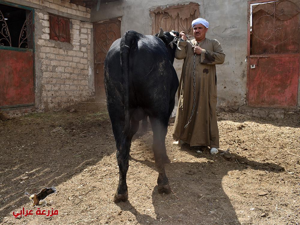 عجول للبيع - مزارع عجول للبيع - مزرعة عراب للإنتاج الحيوانى (4)