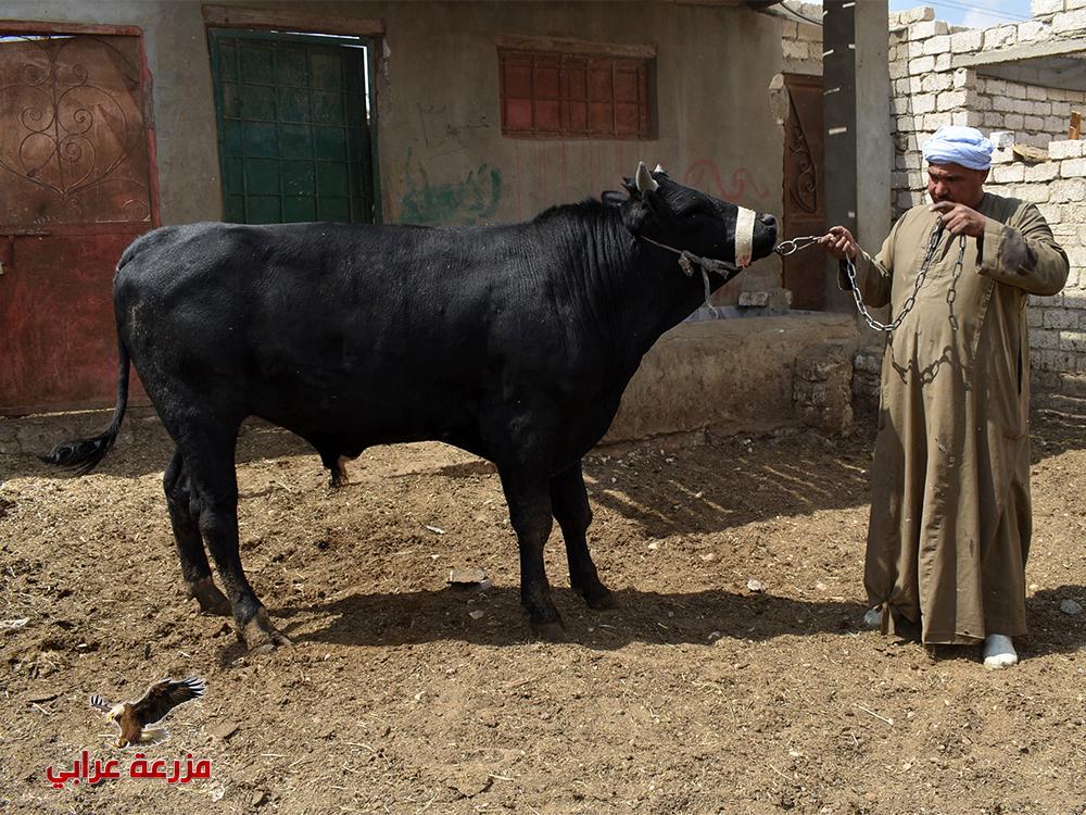 450 3 - عجول للبيع مزارع عجول للبيع - مزرعة عرابي للإنتاج الحيوانى