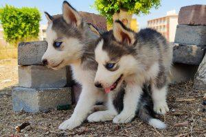 كلاب حراسة للبيع في مصر - مزرعة عرابي oraby farm - husky puppies for sale in egypt (4)
