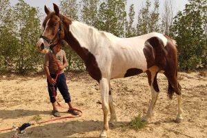 خيول للبيع فى مصر - مزرعة عرابي - oraby farm - safy