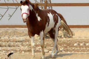 خيول للبيع فى مصر - مزرعة عرابي - oraby farm - lord